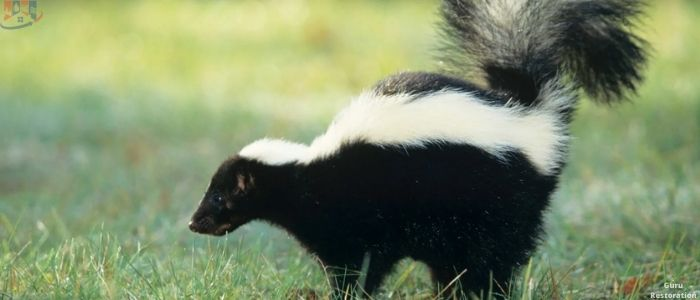 How Long Does Skunk Smell Last